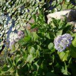 紫陽花寺と、オオムラサキの蝶々を見に行きました。