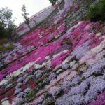 芝桜を見に行きました