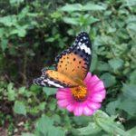 蝶々と蛾の境目にいるような蝶々